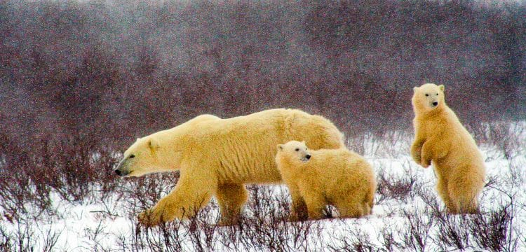 polar-bear-and-cubs-2821902_1280-2